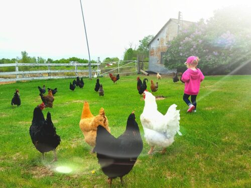 The Less Stress Guide to Catching Your Chickens
