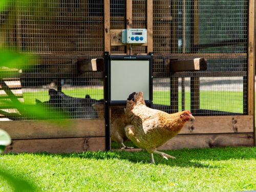 Five Things to Make your Chickens Happy this Australian Summer