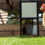 Cost of Keeping Backyard Chickens in Australia 2020