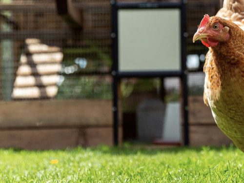 The 'Eggonomics' of Hen Husbandry